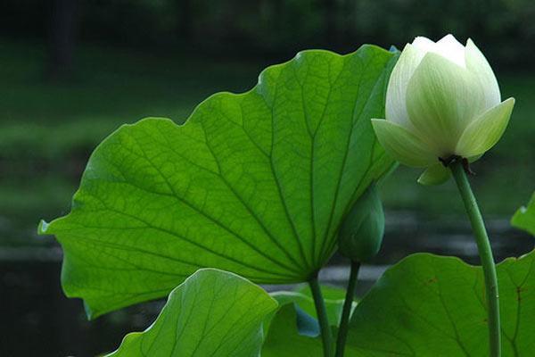 Hình ảnh hoa sen xanh