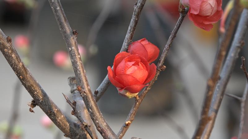Hình ảnh nụ hoa mai đỏ