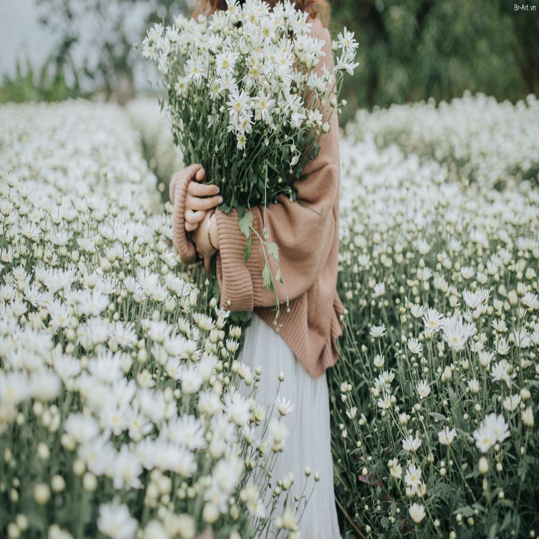 Hình ảnh vườn cúc hoạ mi