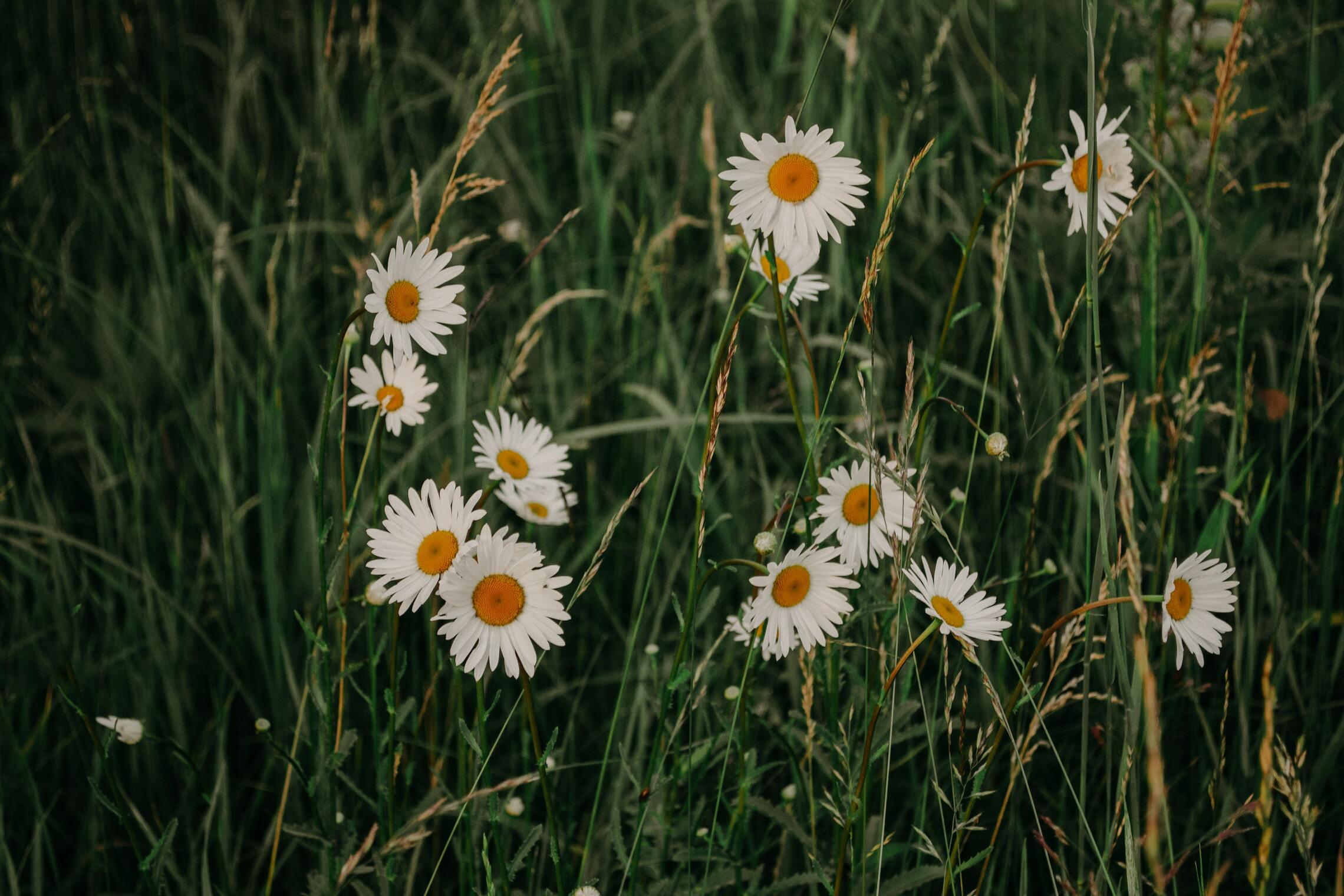 Hình ảnh vườn hoa cúc dại đẹp