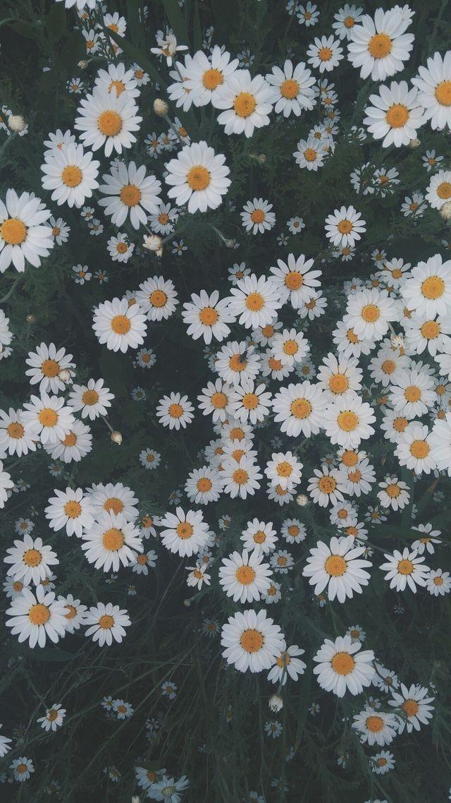 Hình ảnh vườn hoa cúc dại