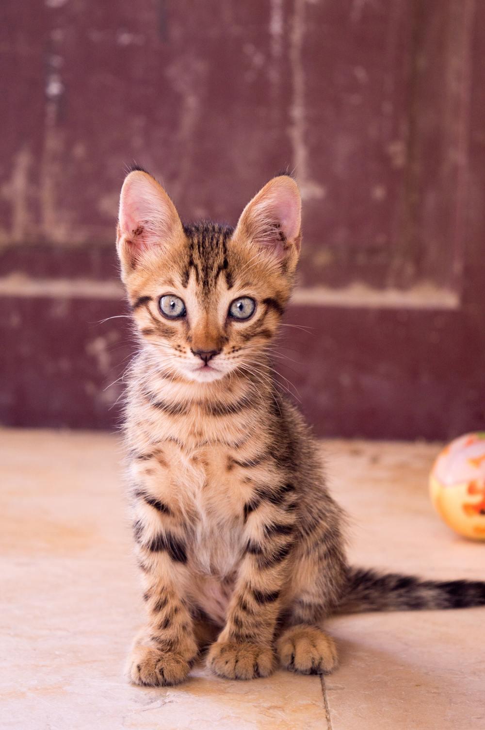 Hình ảnh mèo mướp bé