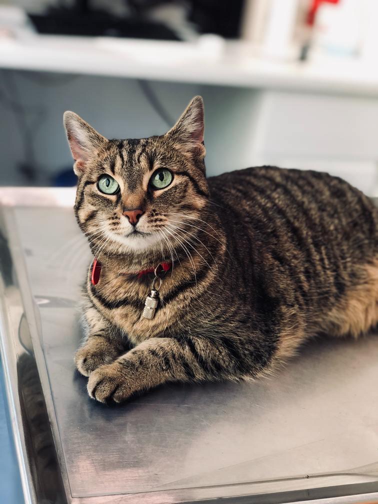Hình ảnh mèo mướp béo đẹp