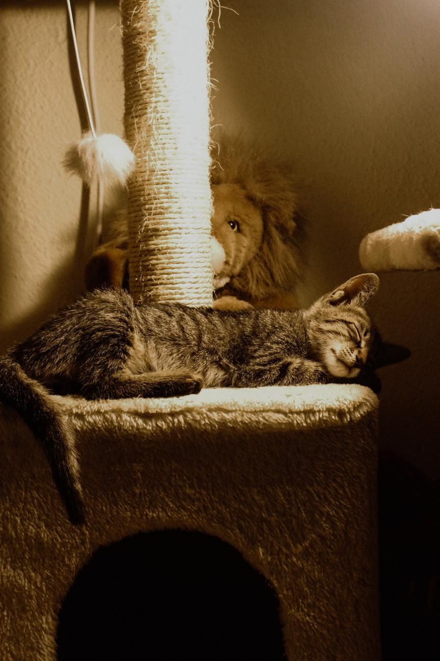 Hình ảnh mèo mướp lười