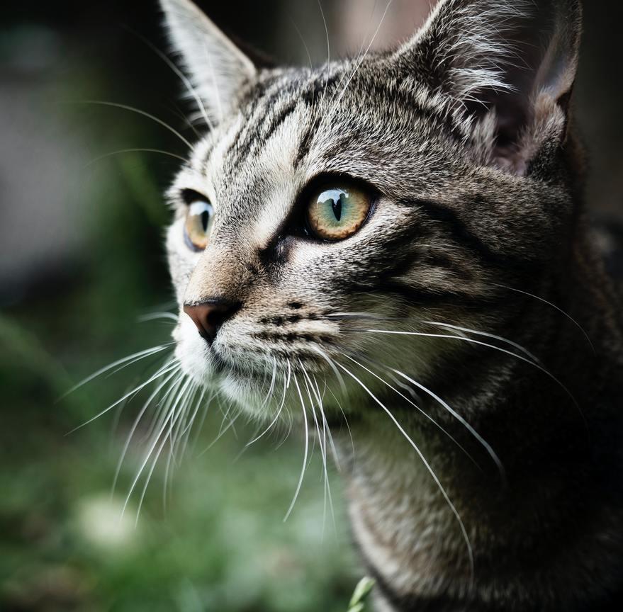 Hình ảnh mèo mướp mắt vàng cực đẹp
