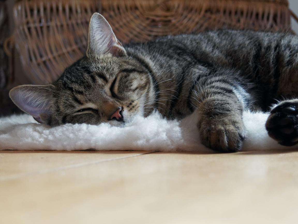 Hình ảnh mèo mướp ngủ nướng đẹp nhất