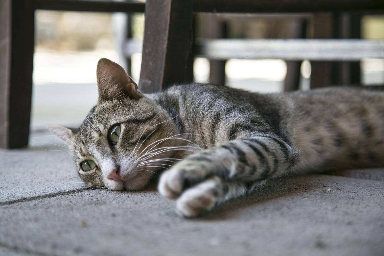 Hình ảnh mèo mướp ngủ nướng đẹp