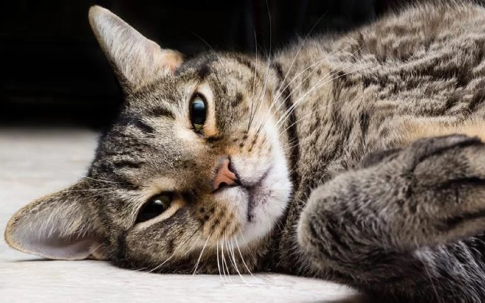 Hình ảnh mèo mướp ngủ
