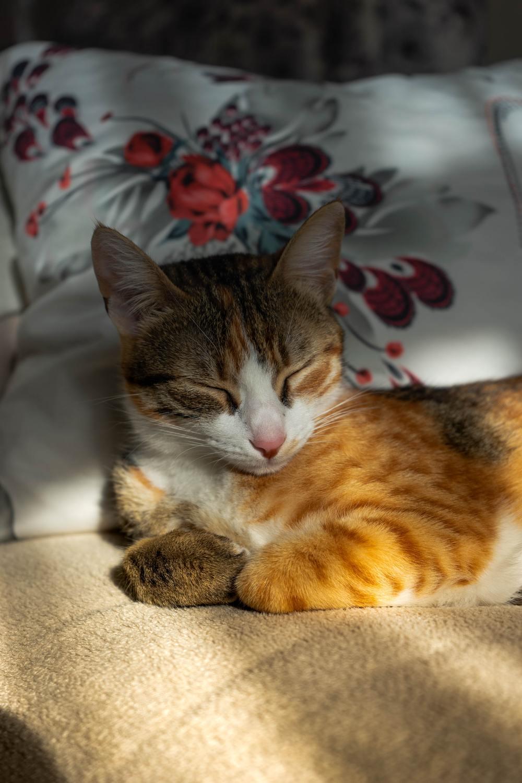 Hình ảnh mèo mướp tam thể