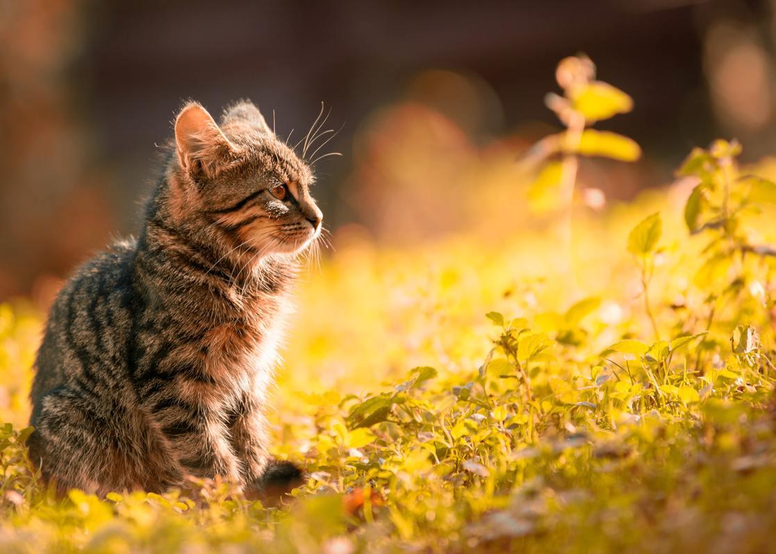 Hình ảnh mèo mướp vằn cực đẹp