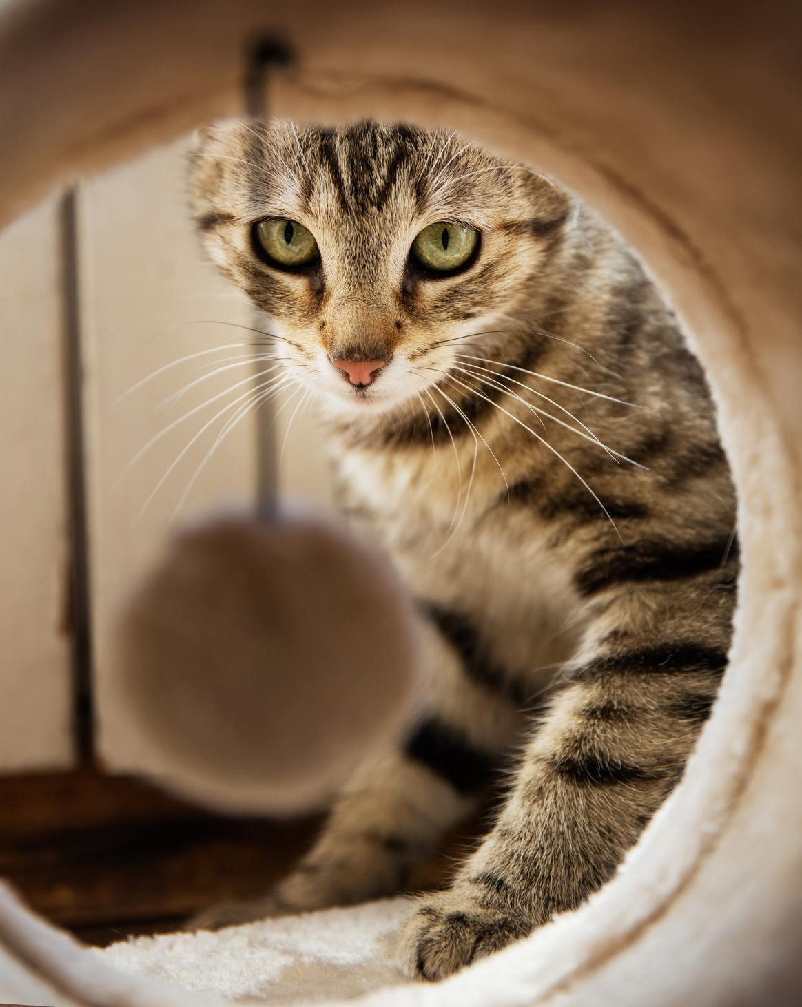 Hình ảnh mèo mướp vằn