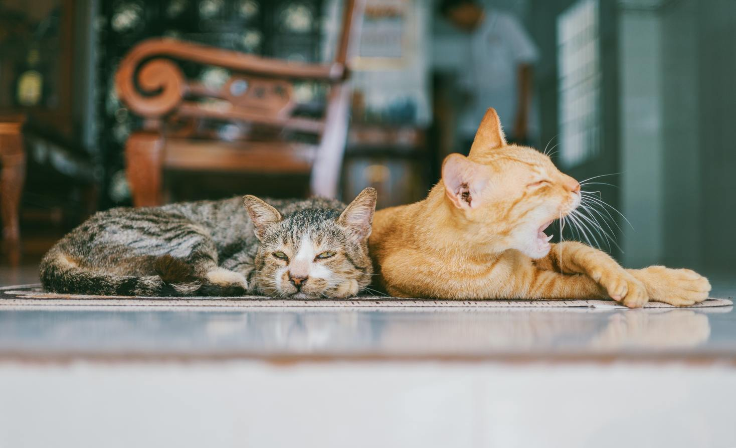Hình ảnh mèo mướp vàng cực đẹp