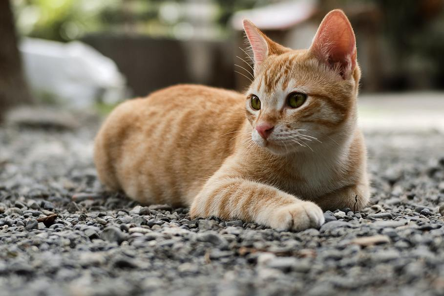 Hình ảnh mèo mướp vàng đẹp nhất
