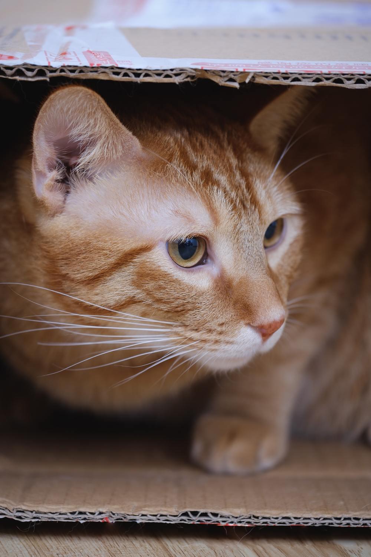 Hình ảnh mèo mướp vàng