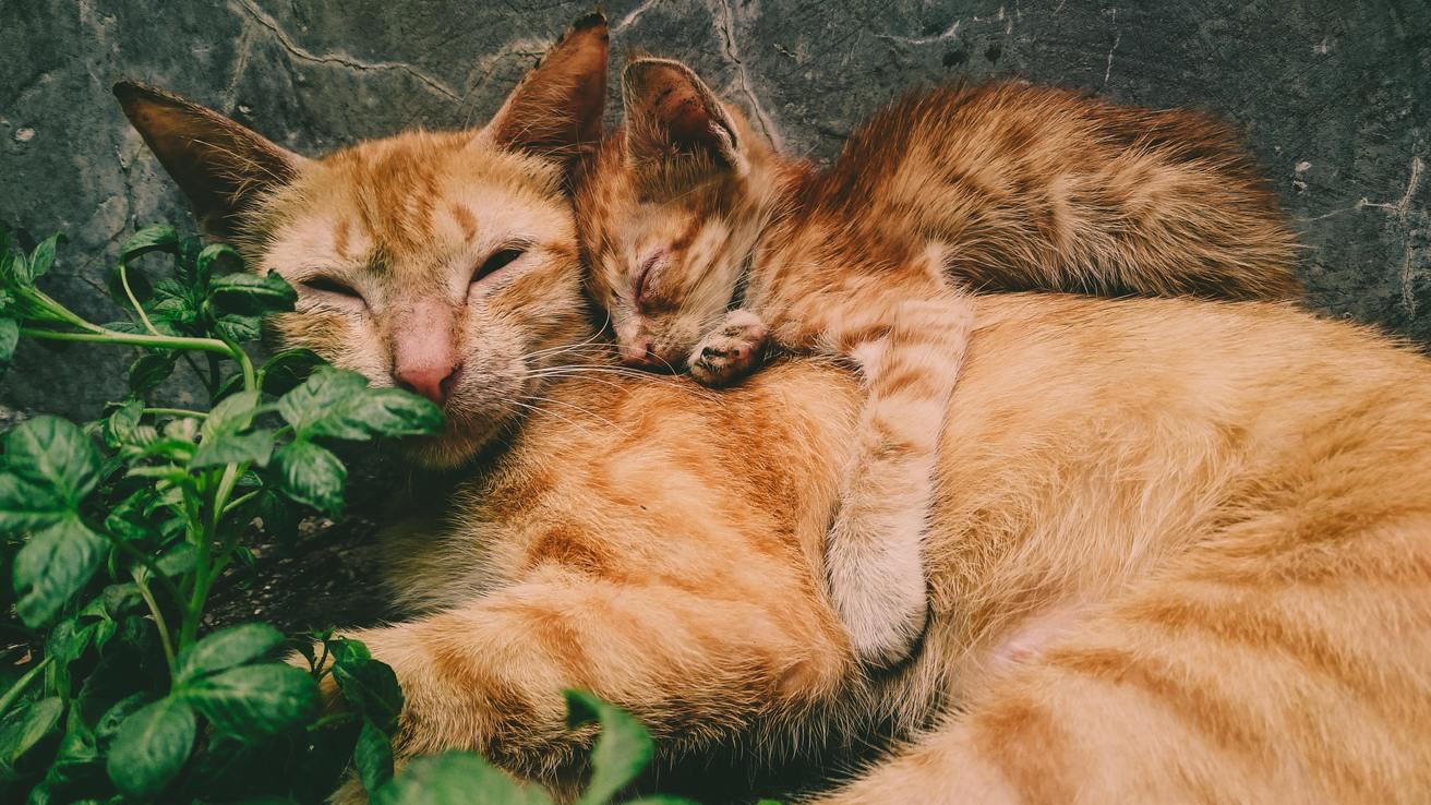 Hình ảnh mèo mướp Việt Nam