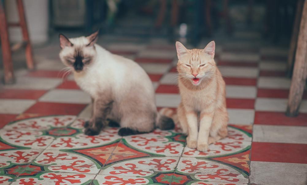 Hình ảnh mèo ta Việt nam đẹp nhất