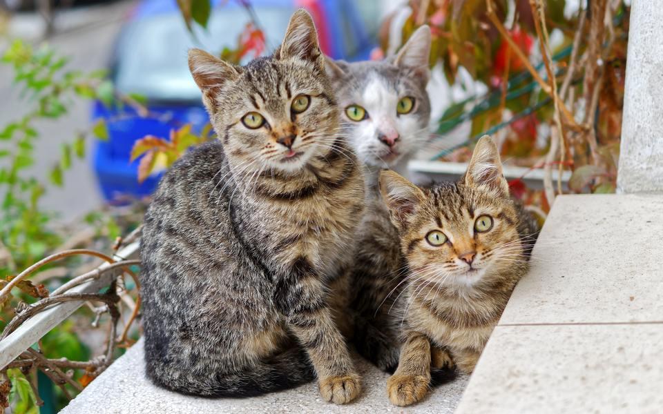 Hình ảnh mèo vằn mướp