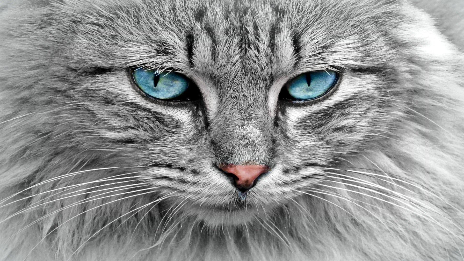 Hình nền mèo màu xám