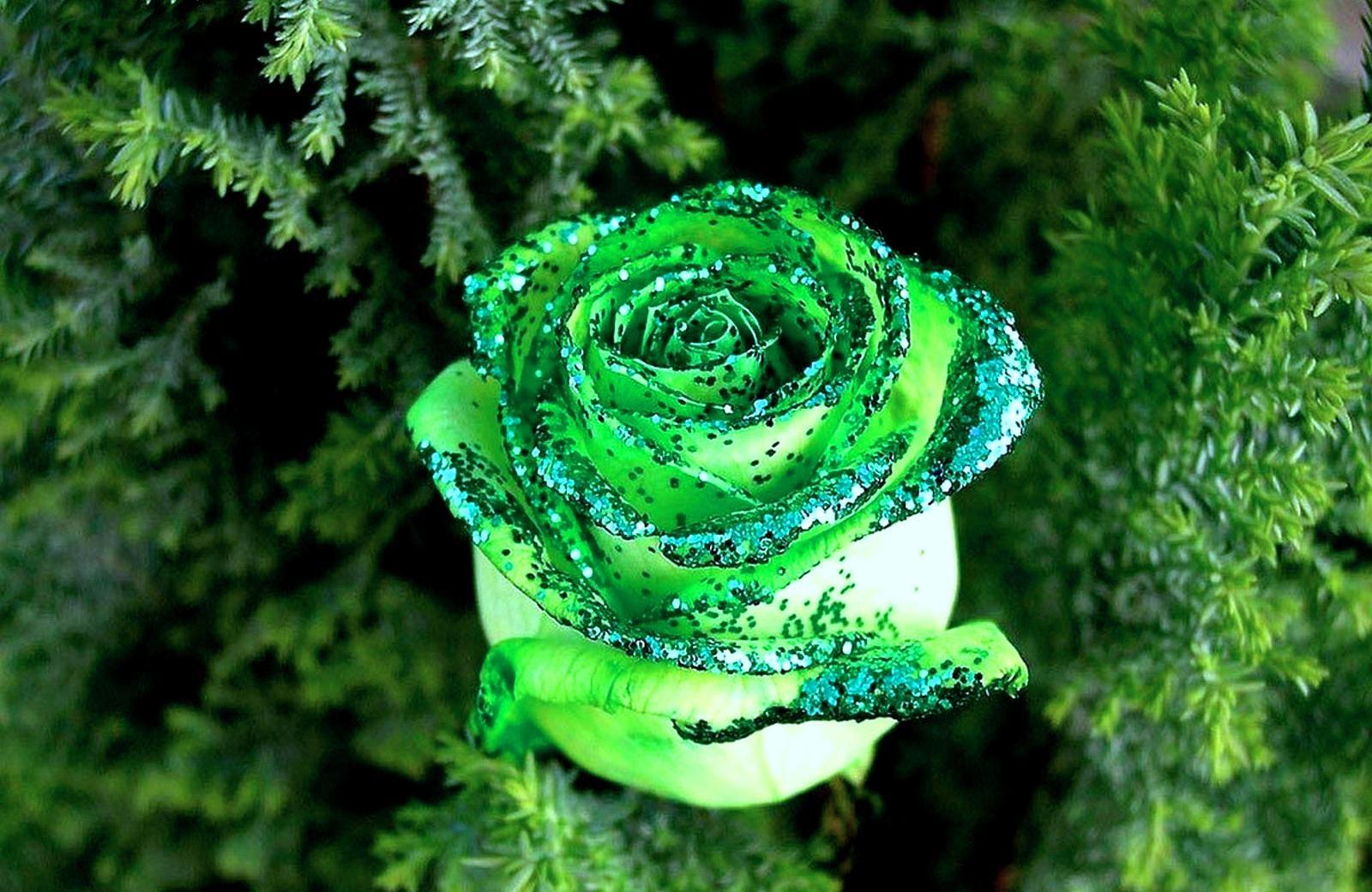 Background hoa hồng xanh cực đẹp