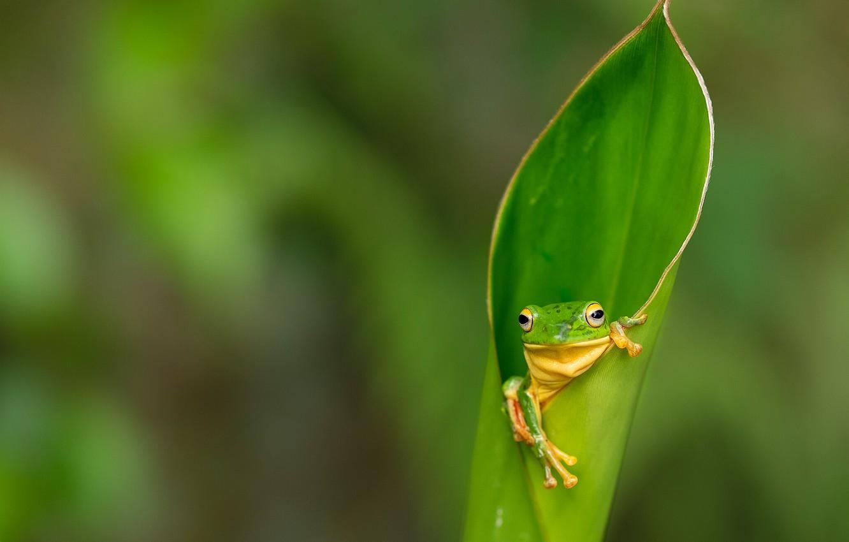 Hình nền chiếc lá và ếch xanh đẹp