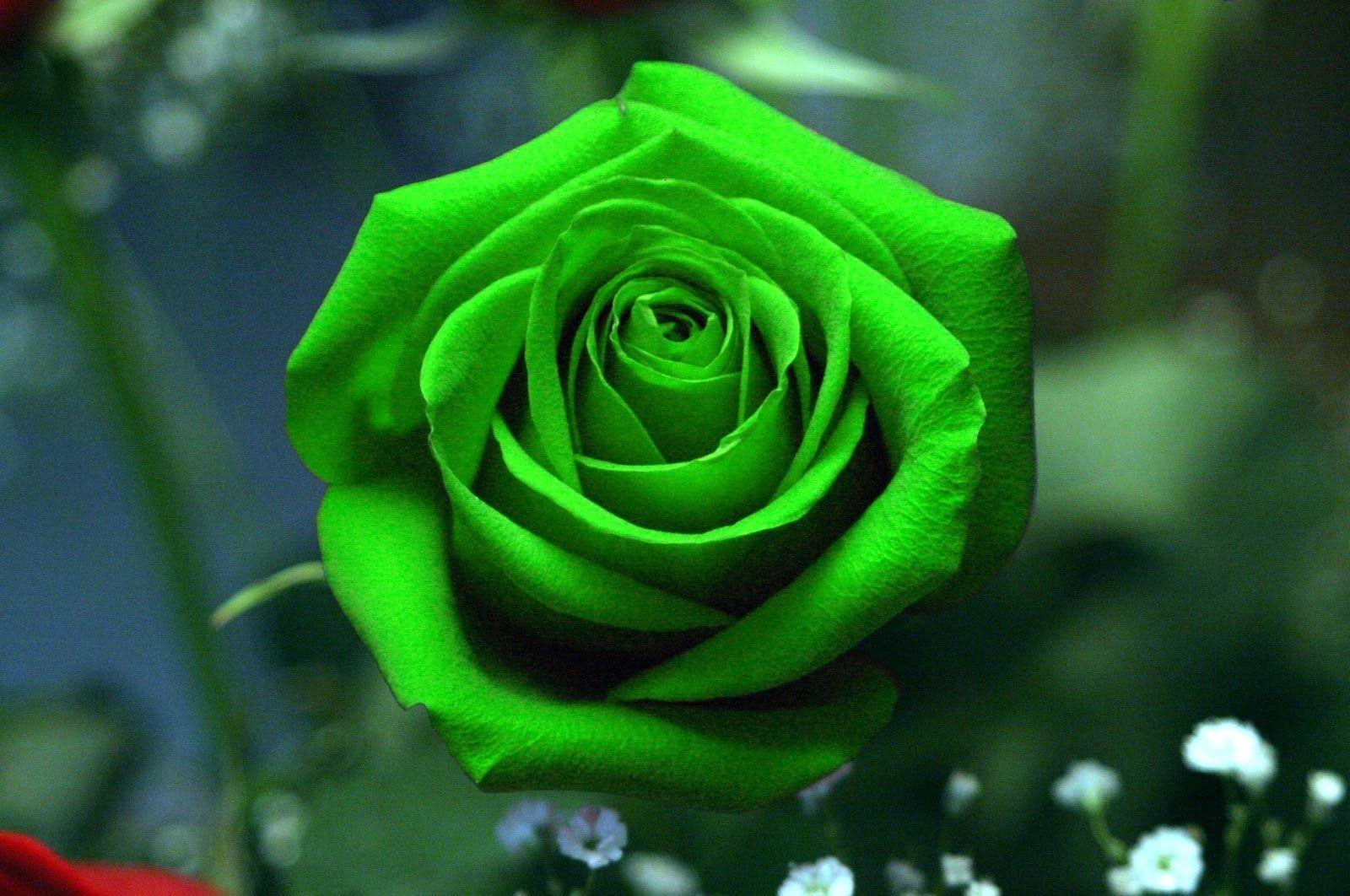 Hình nền hoa hồng xanh độc, lạ