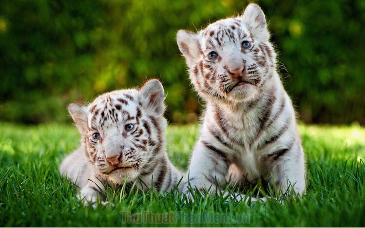 Hình ảnh con hổ đẹp