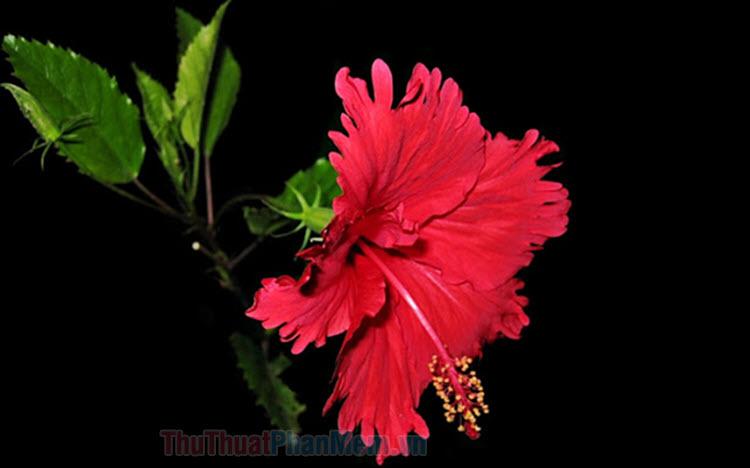 Hình ảnh hoa dâm bụt đẹp nhất