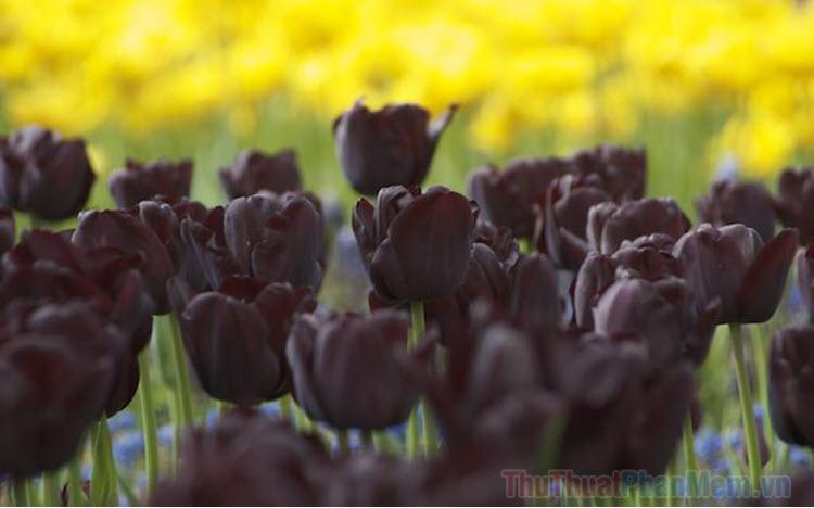 Hình ảnh hoa Tulip đen đẹp nhất