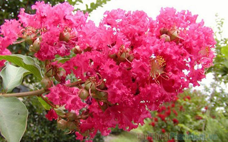 Hình ảnh hoa Tường Vi đẹp nhất