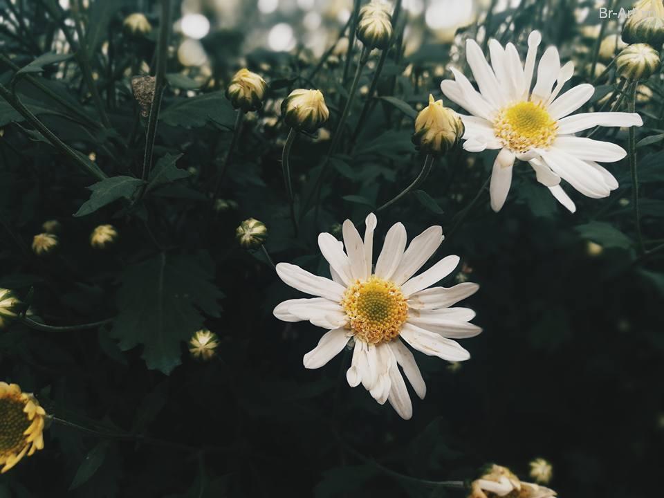 Ảnh chụp hoa cúc trắng