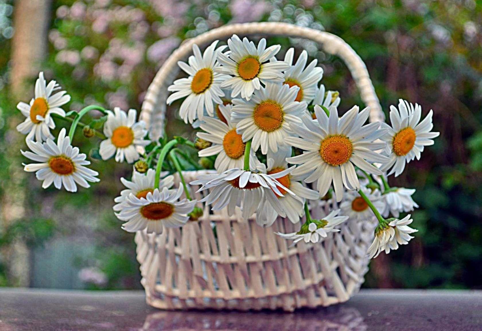 Ảnh giỏ hoa cúc trắng đẹp nhất