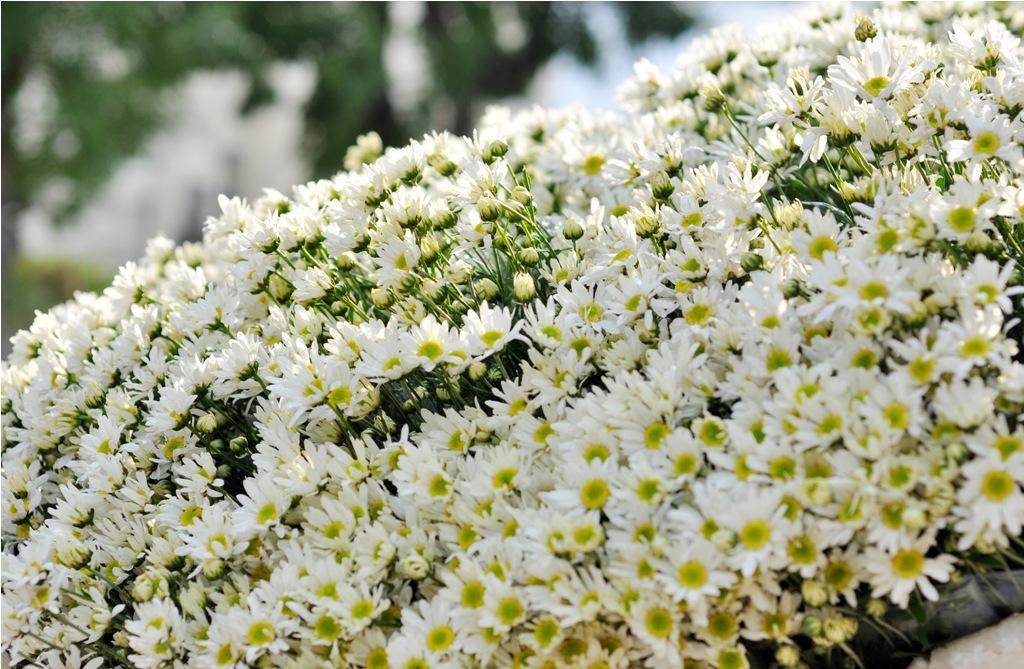 Ảnh Hà Nội đẹp tinh khôi mùa hoa cúc họa mi về trên phố
