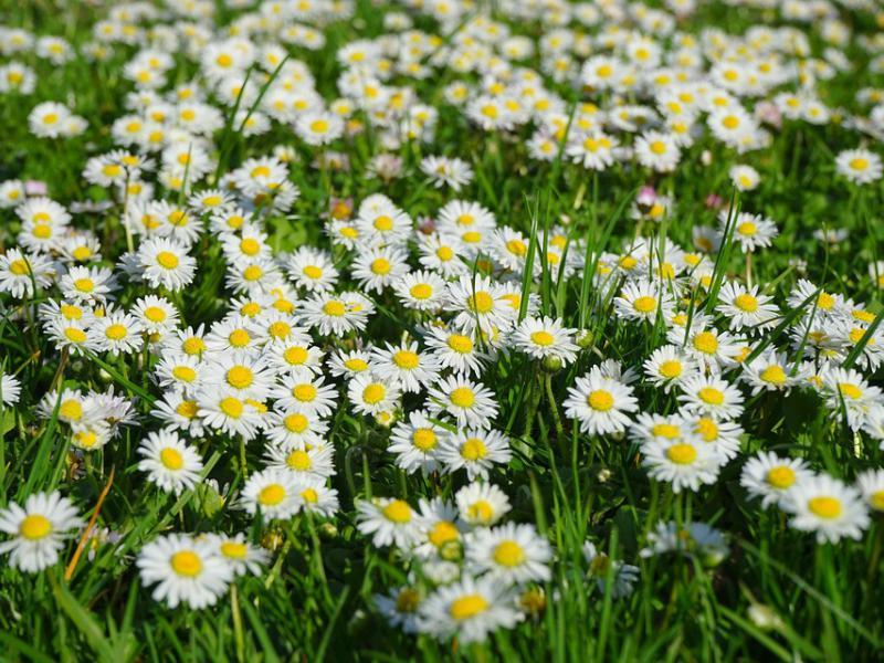 Ảnh hoa cúc dại trắng đẹp nhất