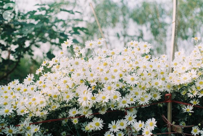 Ảnh hoa cúc họa mi trắng tinh khôi đem mùa đông về Hà Nội