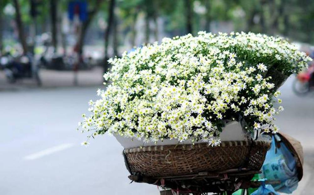 Ảnh hoa cúc họa mi