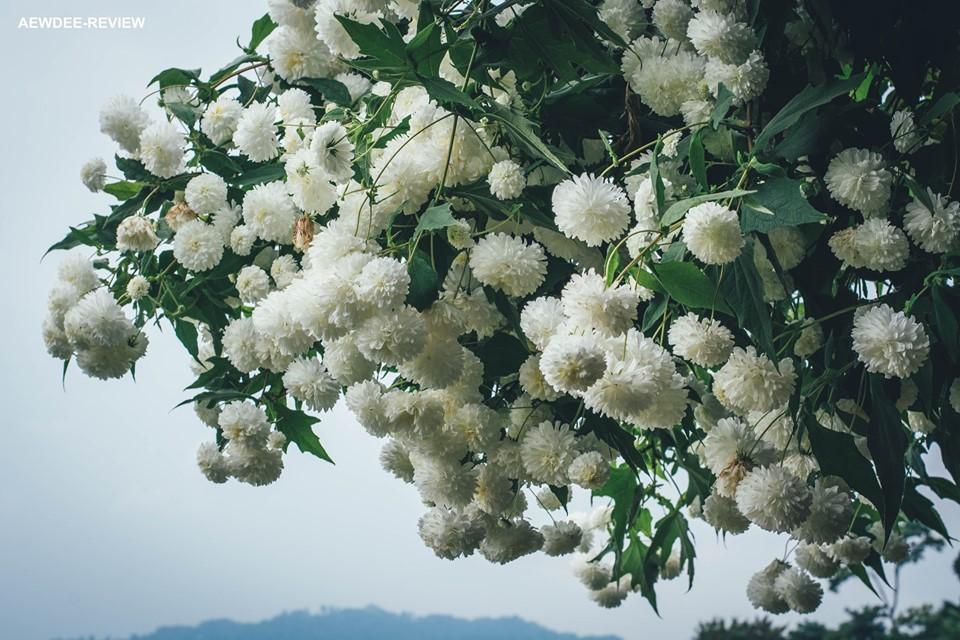 Ảnh hoa cúc núi nở rộ đẹp nhất