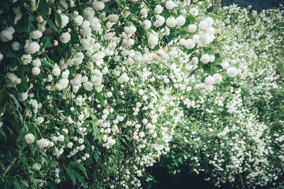 Ảnh hoa cúc núi nở trắng đồi