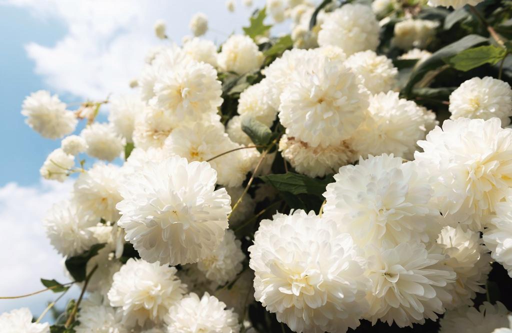 Ảnh hoa cúc núi nở trắng xóa