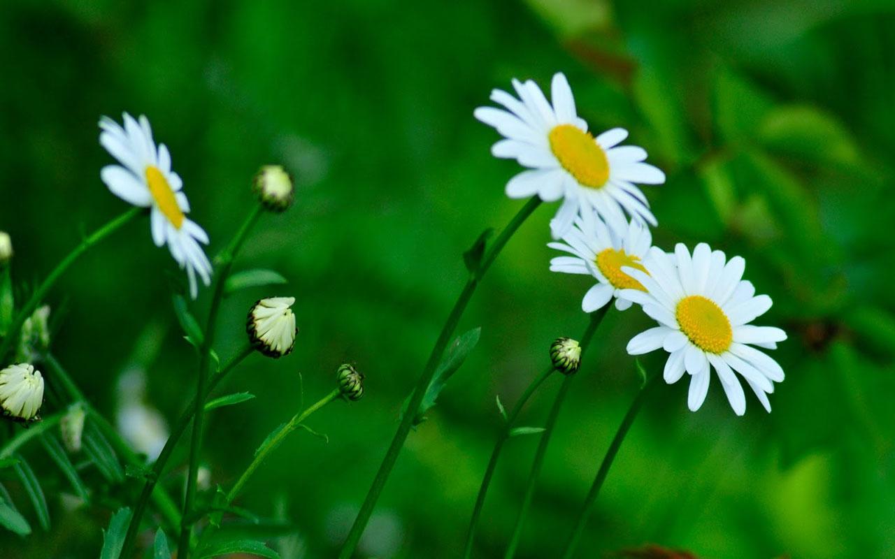 Ảnh hoa cúc trắng cực đẹp