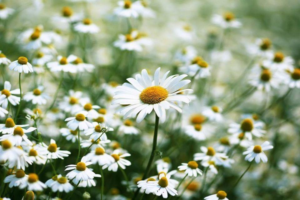 Ảnh hoa cúc trắng đẹp nhất