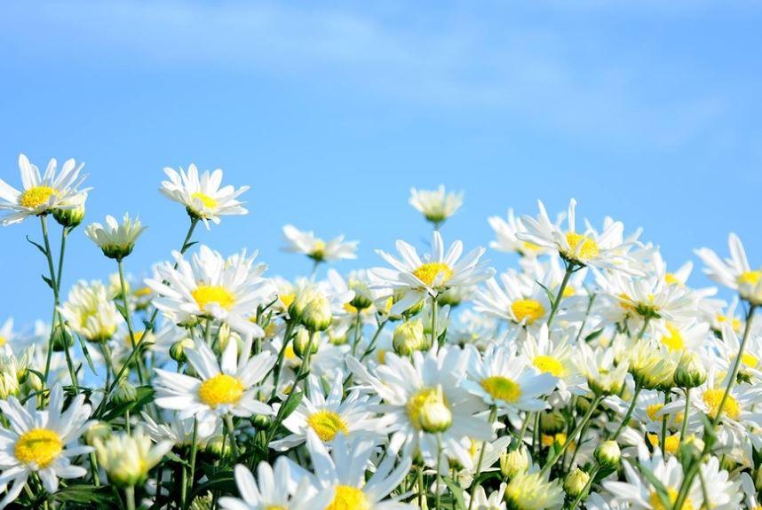 Ảnh hoa cúc trắng đẹp rạng rỡ