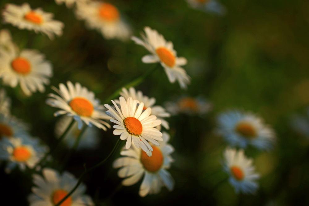 Ảnh hoa cúc trắng đẹp