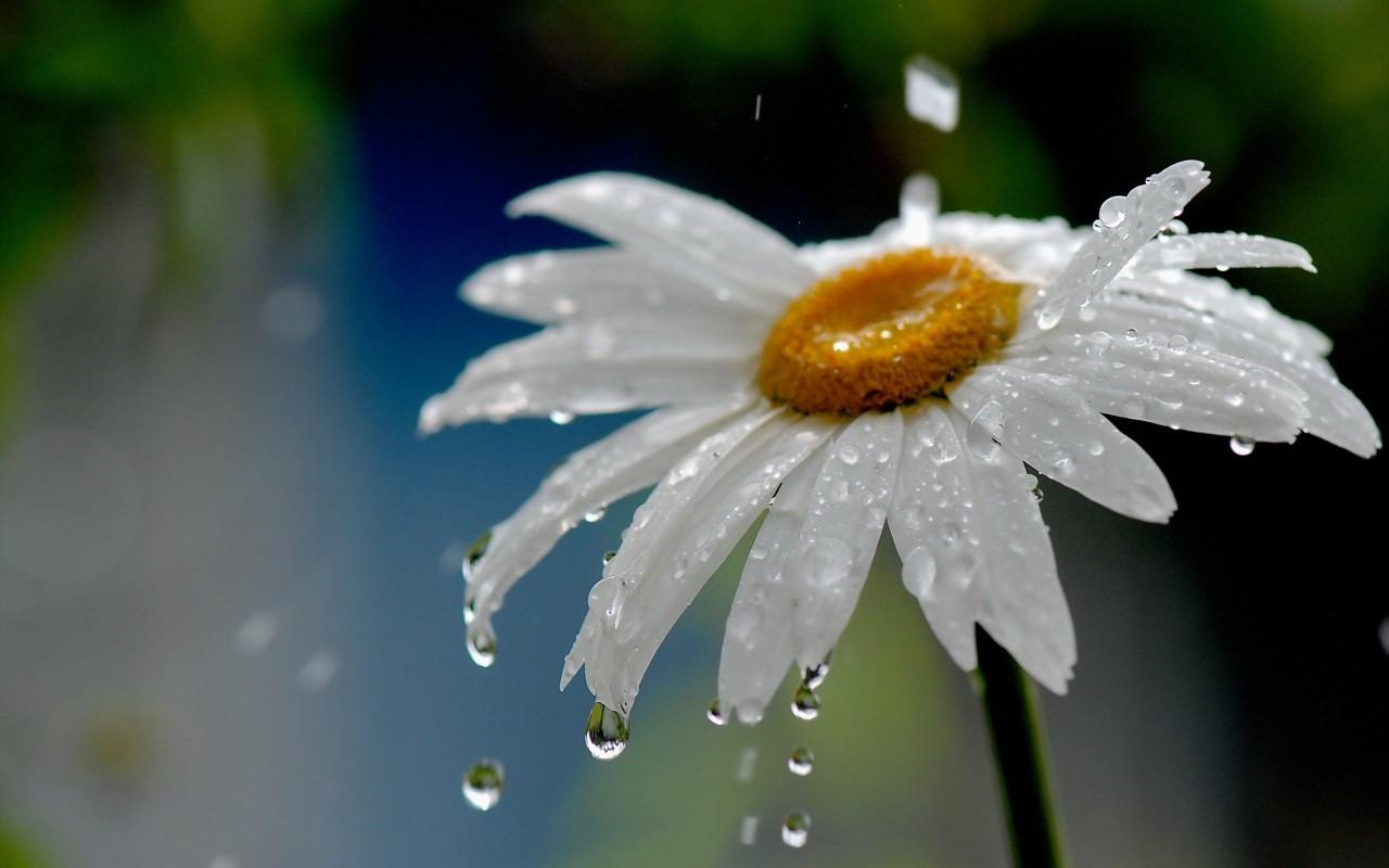 Ảnh hoa cúc trắng dưới mưa cực đẹp