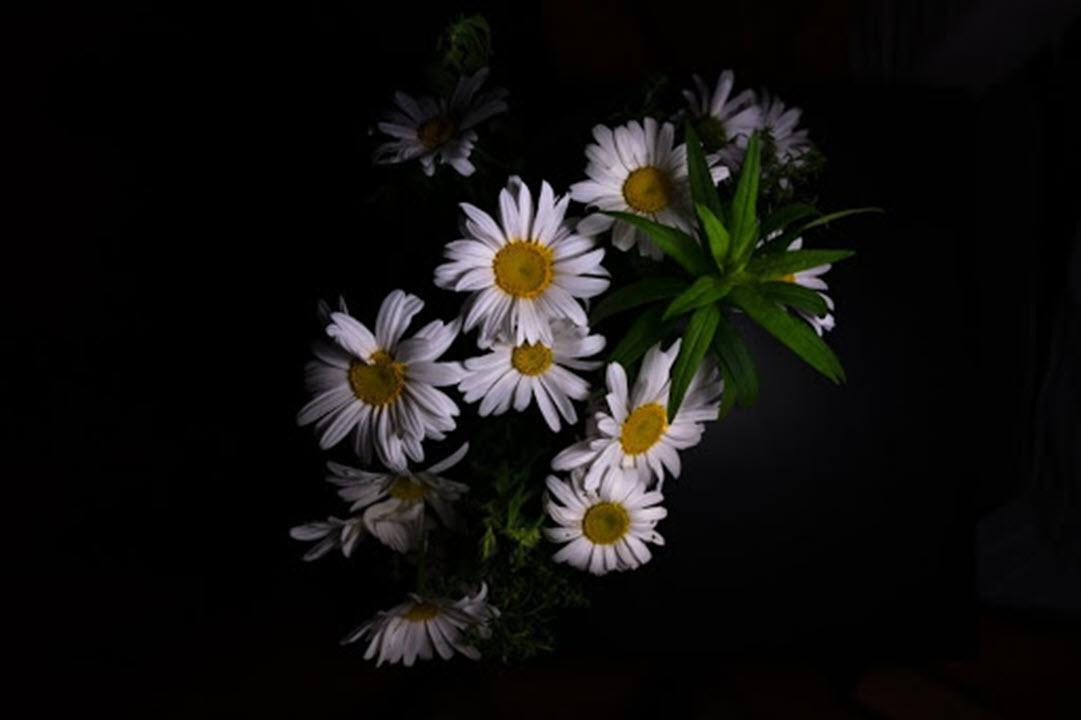 Ảnh hoa cúc trắng trên nền đen đẹp nhất