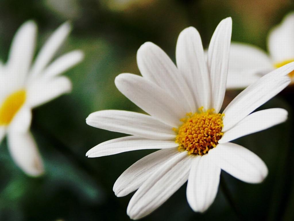 Ảnh nền hoa cúc trắng cực đẹp cho phái nữ
