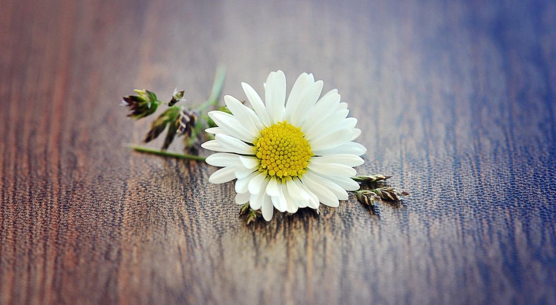 Ảnh nền hoa cúc trắng đẹp nhất