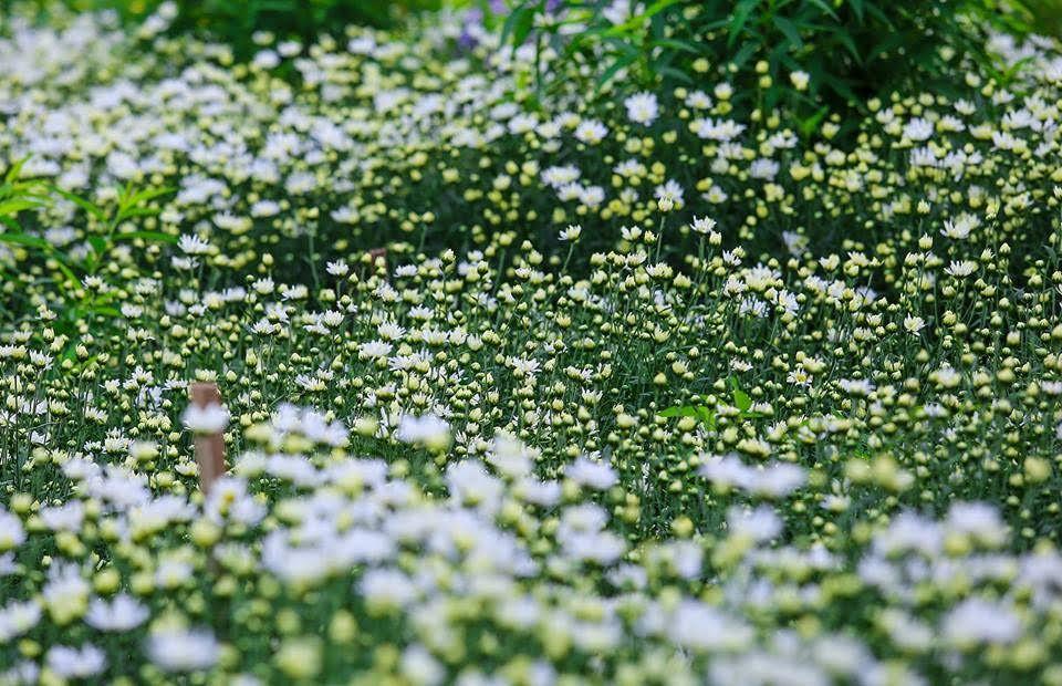 Ảnh rừng hoa cúc trắng tuyệt đẹp
