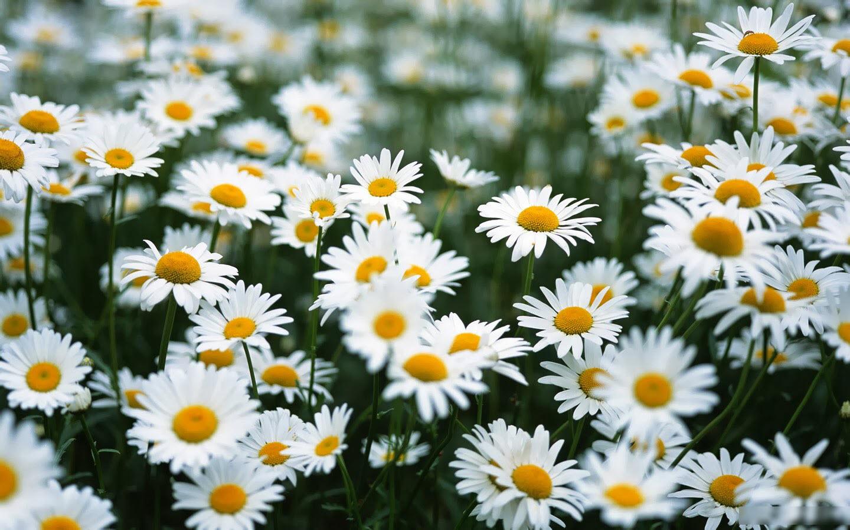 Ảnh vườn hoa cúc trắng đẹp