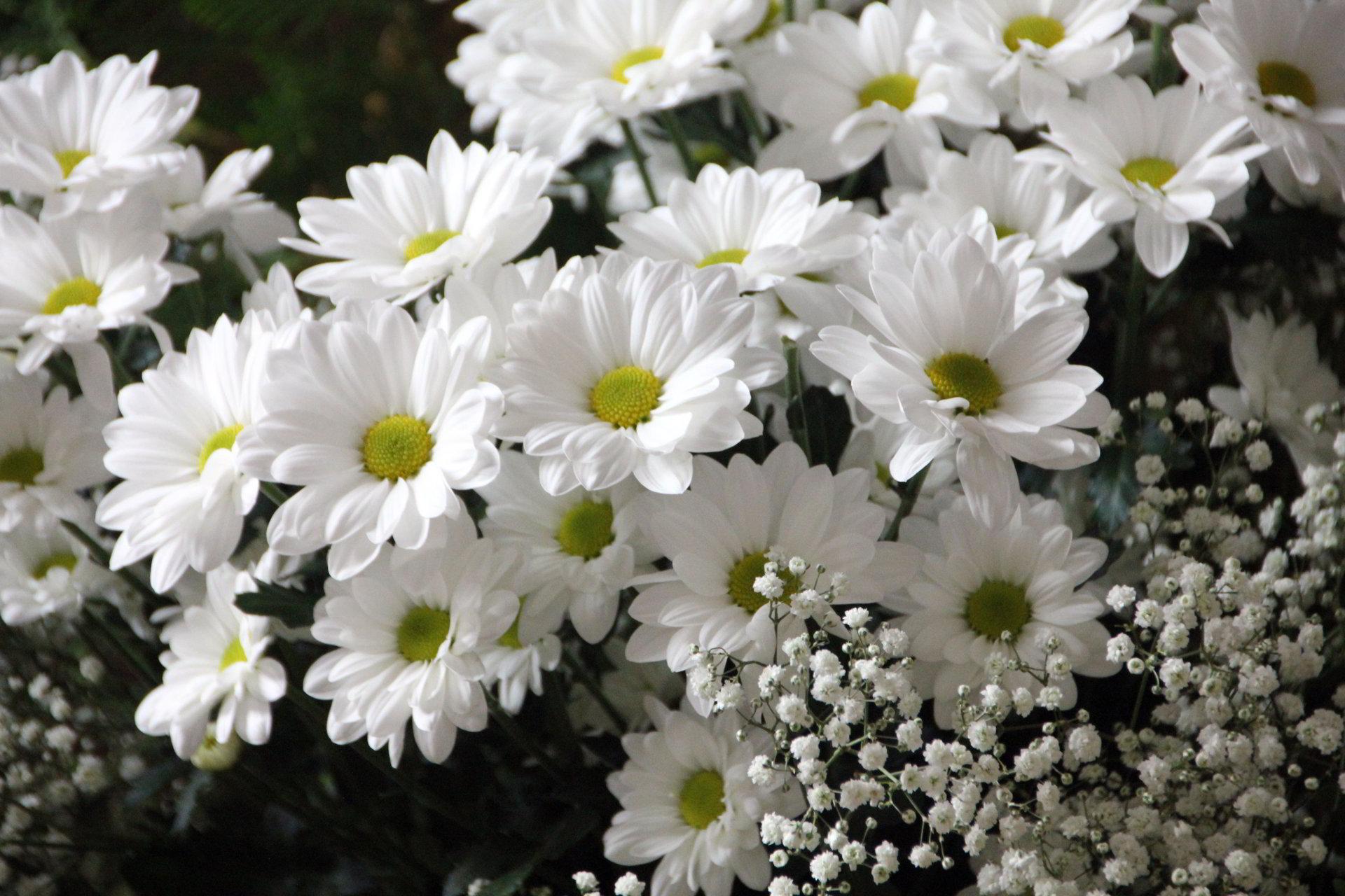 Hình ảnh hoa cúc trắng đẹp rực rỡ nhất