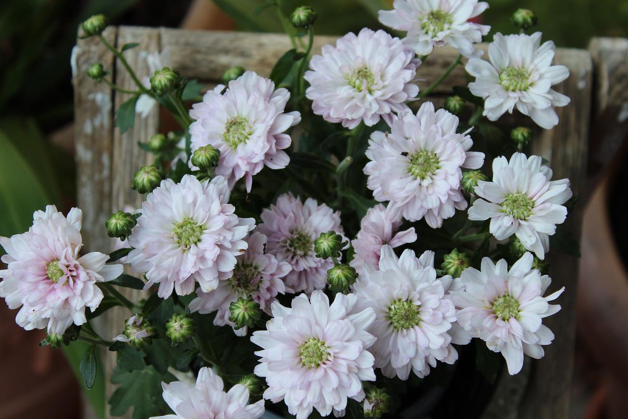 Hình ảnh hoa cúc trắng đẹp, ý nghĩa